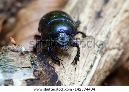 Forest dung beetle - super macro - stock photo