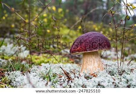 Forest edible mushroom in the moss closeup - stock photo