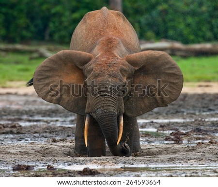 Forest elephant drinking salt water. Jungle. Rare picture. An excellent illustration. The Central African Republic. - stock photo