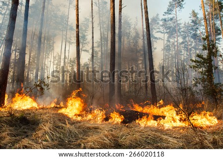 Forest fire and clouds of dark smoke in pine stands. Flame is starting to damage the trunk. Whole area covered by flame - stock photo