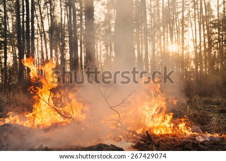 Forest fire. Big flame moves to crown and starting to damage the trunk - stock photo