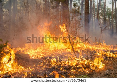 Forest fire in pine stand on sunset background. Whole area covered by flame