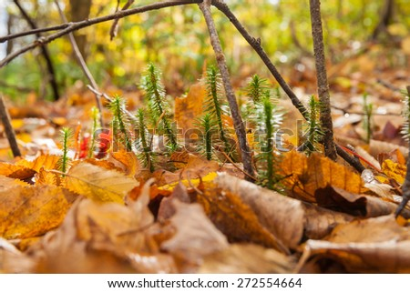 Forest floor closeup, tiny new growth break through the deep golden leaf ground cover. - stock photo