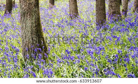 Forest floor with a carpet of bluebells