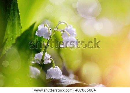Forest flowers - white lilies of the valley in dew. - stock photo
