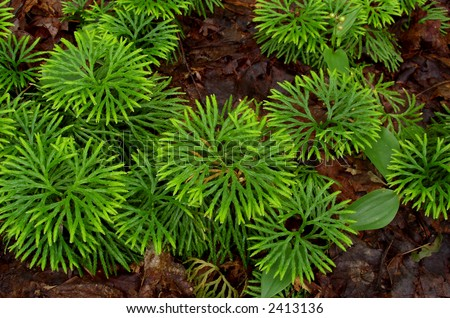 Forest Ground Cover, Fan Clubmoss - stock photo