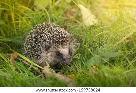 Forest Hedgehog in the thick green grass