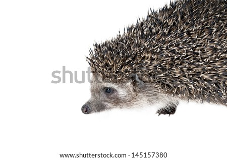 Forest hedgehog on a white background. - stock photo