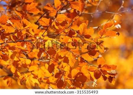 forest in autumn with golden leaves of beech tree