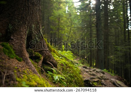Forest in Carpathian mountains