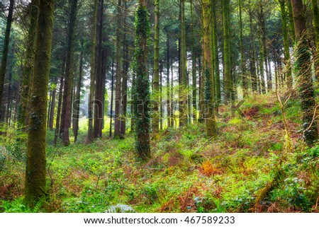 forest in cornwall england uk pine trees. Idless near truro