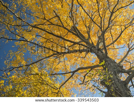 Forest in fall colors in autumn. Yellow cottonwood
