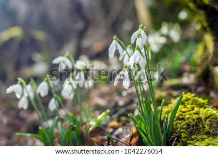 Forest in the beginning of spring with snowdrops