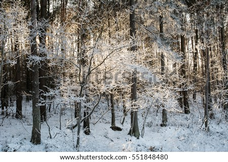 Forest in winter in Poland