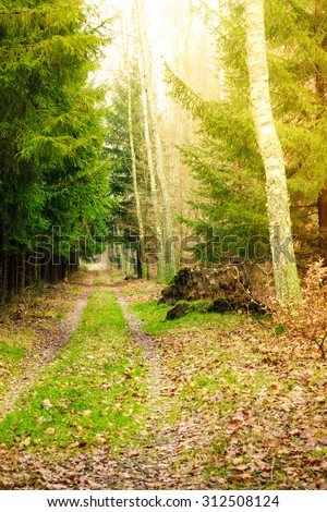 Forest landscape. Country road path with green spruce trees. Sunny autumnal day. - stock photo