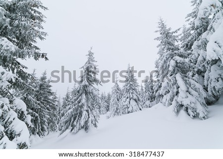 Forest landscape gray day. Fresh snow in the winter