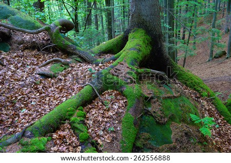 Forest landscape. Moss on tree roots. Beauty in nature - stock photo