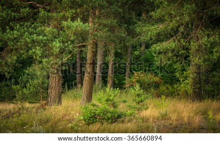 forest landscape with pines - stock photo