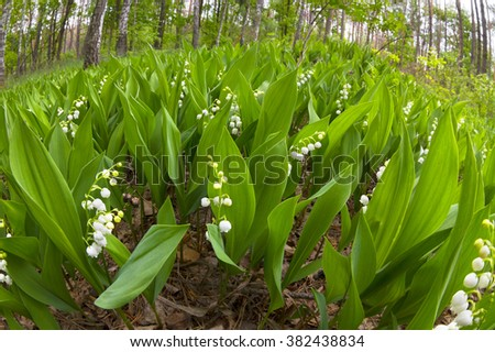 Forest landyshi- thick fragrant thickets of delicate flowers against a background of pine forest in May and April. In Ukraine, it is rare flowers, they are protected by law and special services - stock photo
