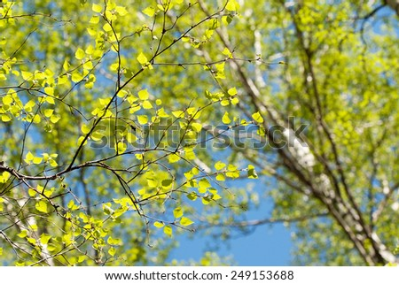 forest - low angle shot in summer, birch tree in spring - stock photo