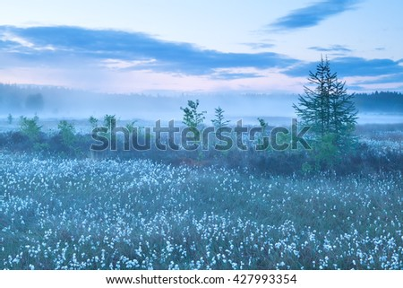 forest marsh with cotton-grass during misty sunrise  - stock photo