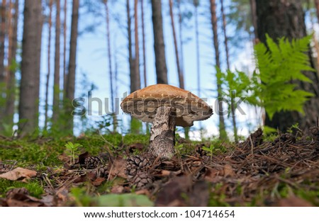 Forest mushroom in the grass. - stock photo