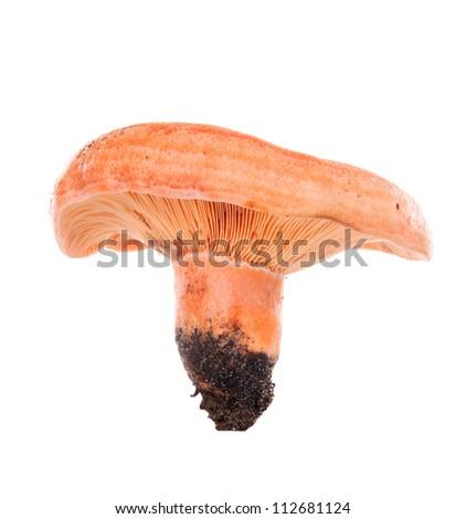 Forest mushroom. Lactarius deliciosus (Saffron milk cap) - stock photo