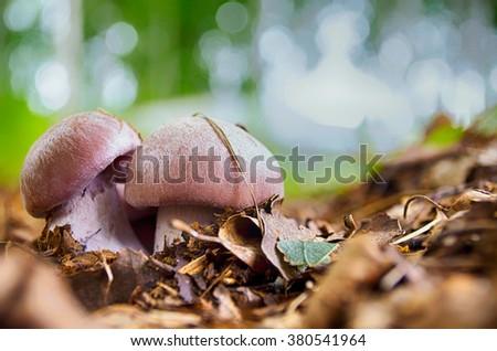 Forest mushrooms - stock photo