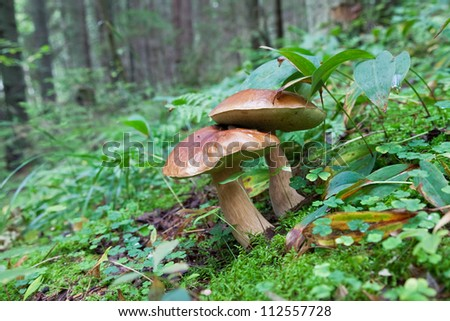 Forest mushrooms in the grass - stock photo