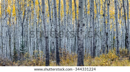 Forest of Aspen trees in Autumn - stock photo