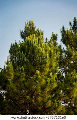 forest of green pine trees on mountainside with morning sunlight. - stock photo