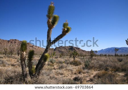Forest of Joshua Trees in the Mojave National Preserve in California.