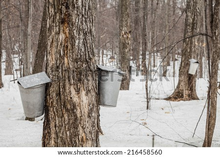 Forest of Maple Sap buckets on trees in spring - stock photo