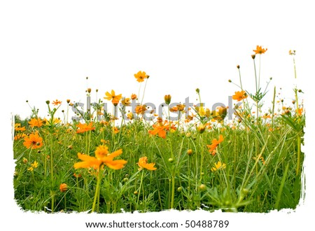 Forest of orange flowerss isolated on white