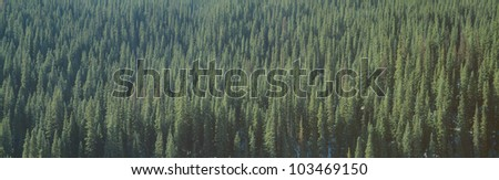 Forest of Pine Trees, Colorado - stock photo