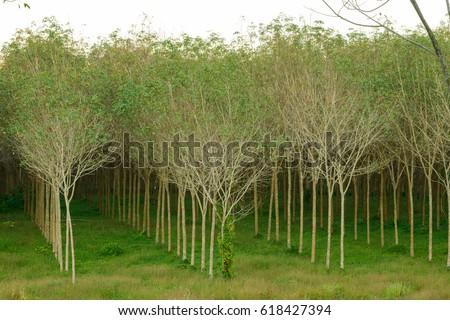 Large Grove Reproduction Douglas Fir Trees Stock Photo