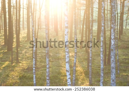 Forest on the background of the sun's rays in the spring. Latvia. Baltic state - stock photo