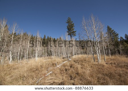 Forest pine trees with blue sky copy space