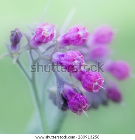 Forest purple lupine wildflower, closeup - stock photo