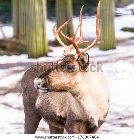 Forest reindeer (European) frontal shot - stock photo