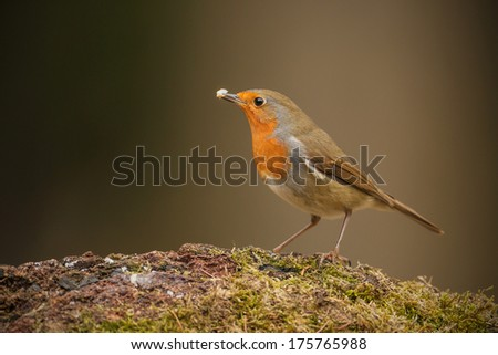 Forest robin on mossy perch holding a piece of fat - stock photo
