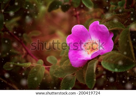 Forest Rose - stock photo