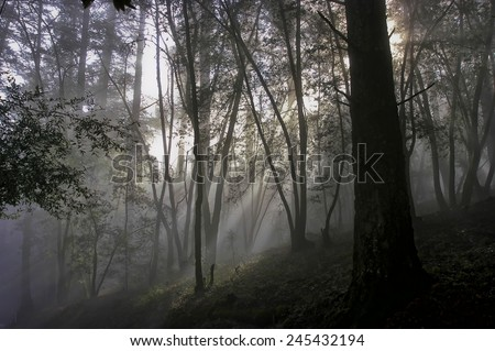 Forest scene with many trees, sun shining through the heavy fog - stock photo