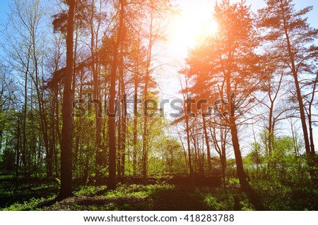 Forest sunny landscape - forest under sunlight shining through the tree tops. Spring colorful sunny forest landscape.  - stock photo