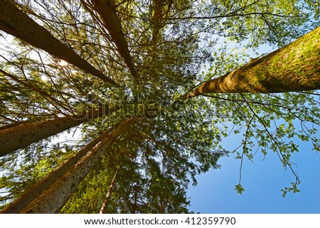 Forest, the crown of tree , the trunks of the trees heavenward into the sky. Look up trees in the forest background - stock photo