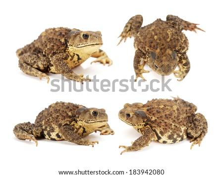 Forest toad Isolated on a white background - stock photo
