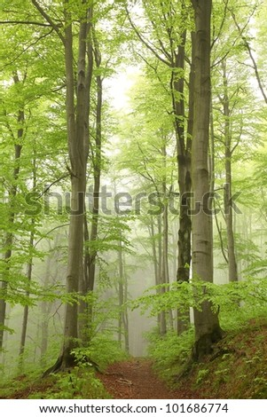 Forest trail among the beech trees on a foggy May morning. - stock photo