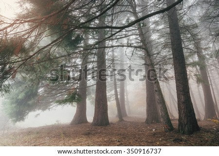 Forest trees in a mysterious fog. Background trunks of coniferous trees in the misty morning.