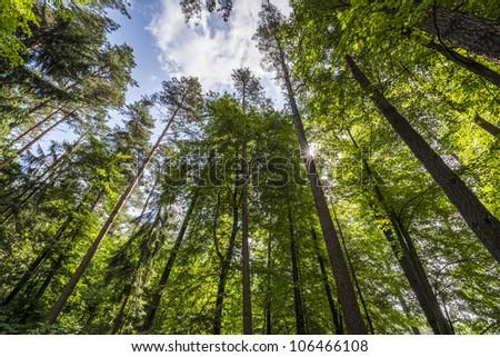 Forest trees in Puszcza Knyszynska, Poland, Podlaskie - stock photo