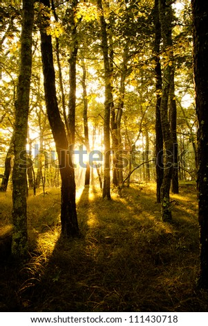 Forest trees. nature wood sunlight backgrounds. - stock photo